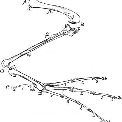 Bones of a Bird's Hind Limb © Florida Center for Instructional Technology