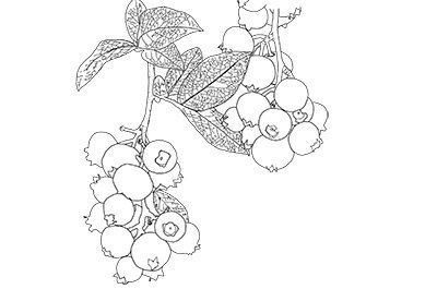 Line drawing of blueberries on a stem