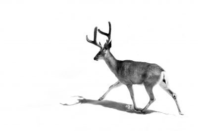 A black-and white image of an antlered deer walking