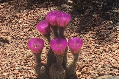 Close-up of a small cactus covered in bright purple flowers, on a rocky desert floor.